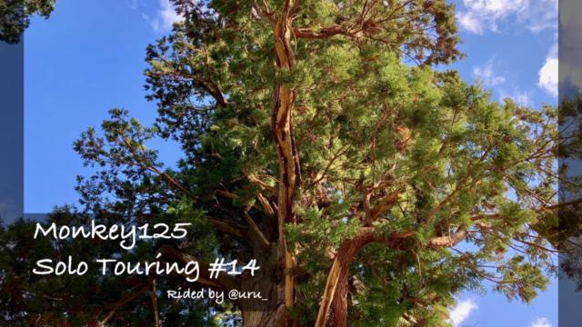 """モンキー125とゆく旅 #14 """"宇宙とつながる巨木""""中川のほうきスギ(かながわの名木100選)"""